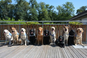 Reproductrices de chiens guides aveugles